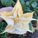 "Brugmansia ""Angels' Endless Summer"" cutting"