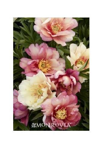 Itoh Peony 'Julia Rose' Peony Plant Root