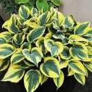 hosta Ben Vernooij (Medium)