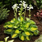 hosta Sunset Grooves (Small)