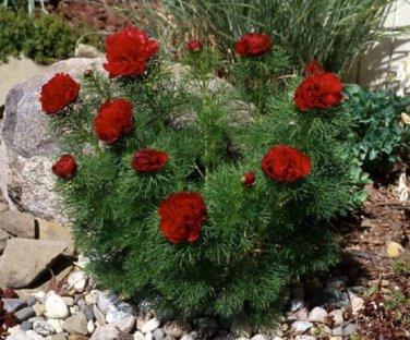 Red Double Fernleaf Peony, Peony Tenuifolia 'Rubra Plena'
