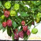 Chocolate Habanero Pepper Seeds - 30