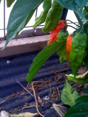 Bhut Jolokia (The Hottest of em' all) Pepper Seeds - 20
