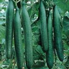 Armenian Yardlong Cucumber Seeds - 50