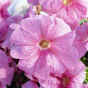 Petunia Ultra Pastel Pink Seeds - 30