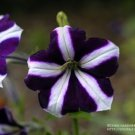 Petunia Ultra Blue Star Seeds - 30