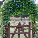 Heavenly Blue Morning Glory Seeds - 30
