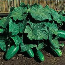 Straight 8 Cucumber - 50
