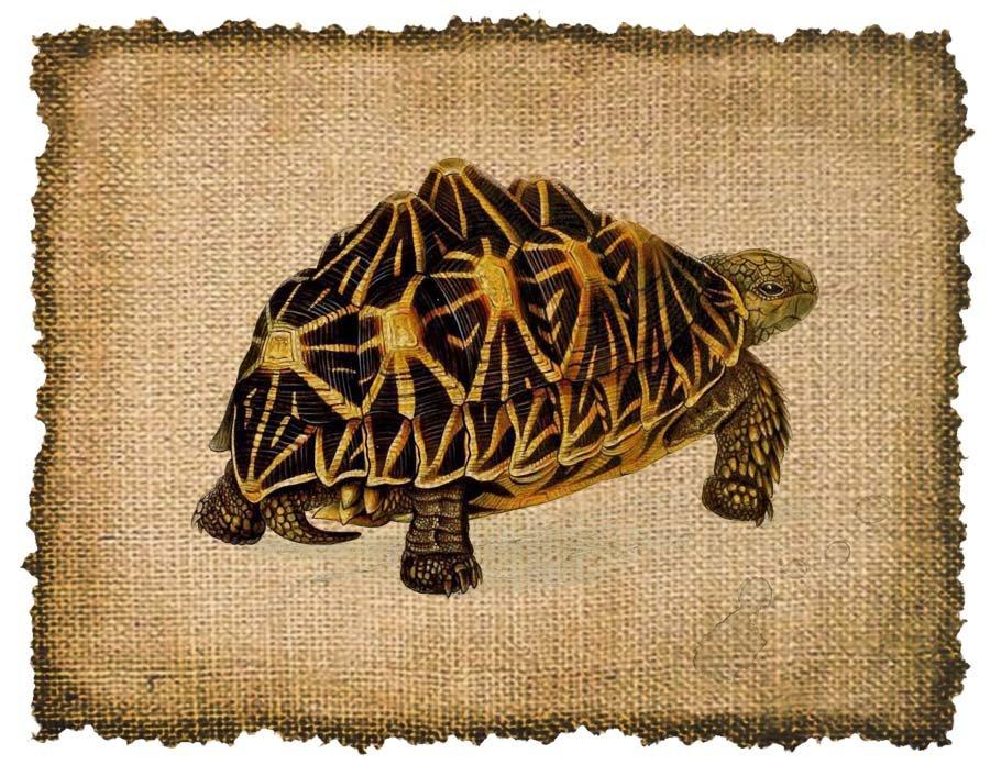 Vintage TURTLE , Altered, Printable, Iron On, Ephemera, Digital Image No. 310