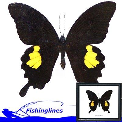 "Red Helen Butterfly Papilio helenus 4"" + Wings Mounted Framed � FREE Shipping WORLDWIDE"