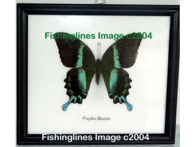 PAPILIO BLUMIE Beautiful Swallowtail Butterfly Mounted Framed � FREE Shipping WORLDWIDE
