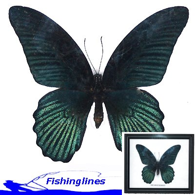 Great Mormon Butterfly Papilio memnon Mounted Framed � FREE Shipping WORLDWIDE