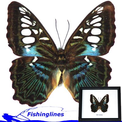 BROWN CLIPPER Butterfly Parthenos sylvia Mounted Framed � FREE Shipping WORLDWIDE