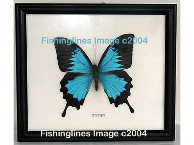 ULYSSES Beautiful Swallowtail Butterfly Mounted Framed � FREE Shipping WORLDWIDE