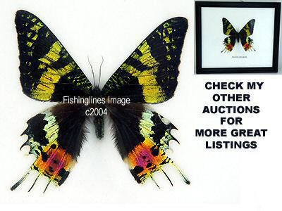 MADAGASCARSIS Beautiful Rare Butterfly Mounted Framed � FREE Shipping WORLDWIDE