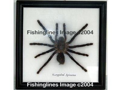 EURYPELML SPINCRUS Large Tarantula Spider Mounted Framed � FREE Shipping WORLDWIDE