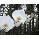 White Orchids 8x10 photo