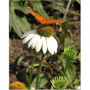 Butterfly on Daisy 8x10 photo