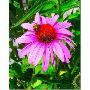 Bee on a Daisy 8x10 photo