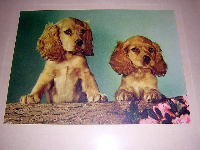 2 cocker spaniel dogs framed Early color photo print AL1060