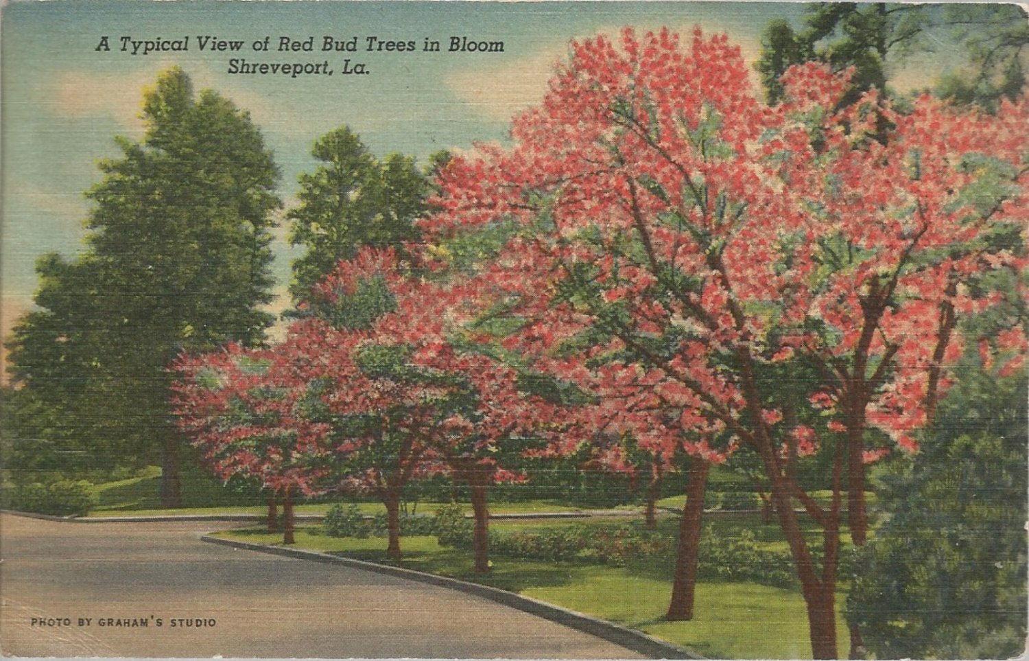 A typical view of Red Bud Trees in Bloom  Shreveport, LA.  postcard (#163)