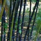 (3) Live Ornamental Black Bamboo Phyllostachys Nigra Rhizomes plant starts