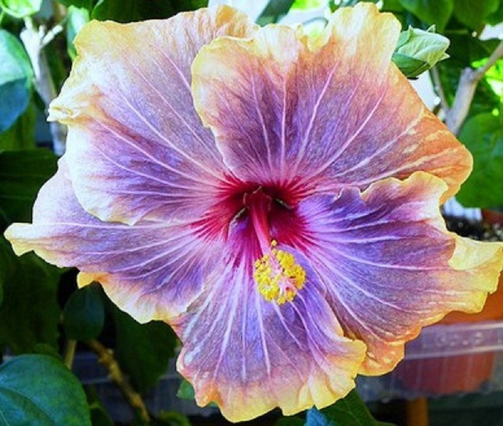 "Types Of Lilies In Florida: 'Gabriel' Cajun Series Tropical Hibiscus Plant 4.5"" Pot"