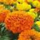 100 HEIRLOOM FRESH CRACKER JACK  Marigold Mix SEEDS