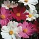 100 HEIRLOOM Cosmos Sensation Mix Seeds