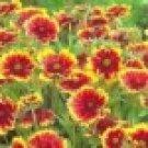100 HEIRLOOM BLANKET FLOWER,[Gaillardia Aristata] seeds