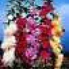 50 heirloom Hollyhock {Alcea} Summer Carnival seeds mix