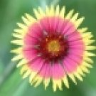 100 HEIRLOOM Indian Blanket Flower Gaillardia p Seeds
