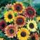 100 HEIRLOOM Sunflower, (Autumn Beauty ) SEEDS
