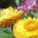 100 HEIRLOOM STRAWFLOWER  DAISY   MIXED SEEDS