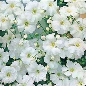 100 Heirloom Baby's Breath Gypsophila Covent Garden Seeds