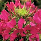 35 ROSE QUEEN CLEOME HASSLERIANA SPIDER MIX COLORS FLOWER SEEDS