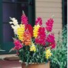 100 Heirloom Snapdragon Tall Deluxe Mixed Colors Flower Seeds