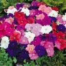 35 Heirloom Petunia Mixed Colors Seeds
