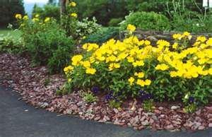 100 HEIRLOOM Common Evening Primrose