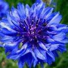 100 HEIRLOOM Bachelor Button Centaurcea cyanus  seeds