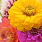 100 HEIRLOOM Long blooming  Flowers Blend  Zinnia Mix seeds