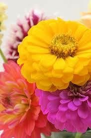 100 HEIRLOOM Long blooming  Flowers Blend  Zinnia Mix seeds
