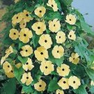 35 HEIRLOOM CANARY EYES Black Eyed Susan Vine Seeds