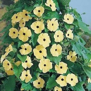 35 HEIRLOOM CANARY EYES Black Eyed Susan Vine Seeds
