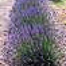 100 HEIRLOOM Lavender (Lavendula angustifolia)True SEED