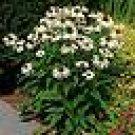 25 White Swan Coneflower Perennial  ( Echinacea Purpurea A) Seeds