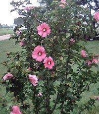 100 Heirloom  Rose of sharon shrubs{Hibiscus } seeds