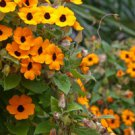 35 HEIRLOOM Black-eyed Susan vine(Thunbergia alata)sd