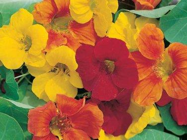 50 HEIRLOOM Nasturtium, Edible plant (vl) Mix SEEDS