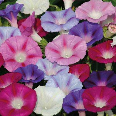 50  HEIRLOOM Morning Glory Ipomoea Purpurea Mixed Flower Seeds